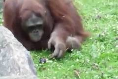 Orangutan saves drowning chick